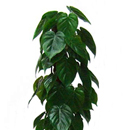 Philodendron scandens.