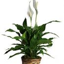 Spathiphyllum (Skrzydłokwiat)